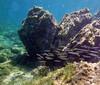 Sphyraena chrysotaenia, yellowstripe barracuda, a Lessepsian migrant, near Memi beach, Koroni, Peloponnese, Greece<br /> <br /> Panasonic DMC-FT3