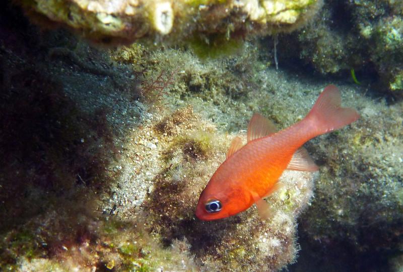 Apogon imberbis, a cardinalfish, Meerbarbenkönig<br /> near Memi beach, Koroni, Peloponnese, Greece<br /> <br /> Panasonic DMC-FT2