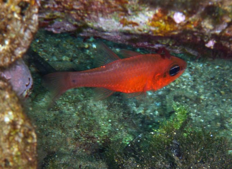 Apogon imberbis (same specimen as before), a cardinalfish, Meerbarbenkönig<br /> near Memi beach, Koroni, Peloponnese, Greece<br /> <br /> Panasonic DMC-FT2