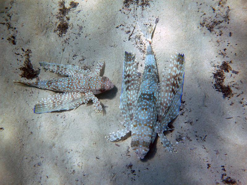 Dactylopterus volitans mating, flying gurnard<br /> Memi beach, Koroni, Greece (also seen at Kalamaki beach)<br /> <br /> Panasonic DMC-FT2