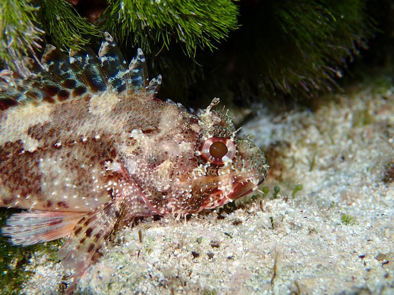 Scorpaena maderensis, Madeira scorpionfish, Lefki beach, Elafonisos, Peloponnese, Greece<br /> <br /> Olympus TG-1
