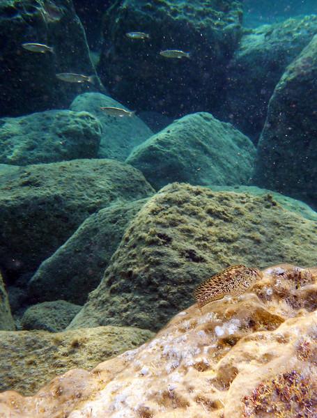 Parablennius sanguinolentus, rusty blenny, Blutstriemen-Schleimfisch, same specimen as before<br /> near Kalamaki beach, Koroni, Peloponnese, Greece<br /> <br /> Panasonic DMC-FT2