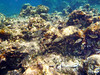 Sarpa salpa, salema porgy, Goldstrieme<br /> near Memi beach, Koroni, Peloponnese, Greece<br /> <br /> Panasonic DMC-FT3