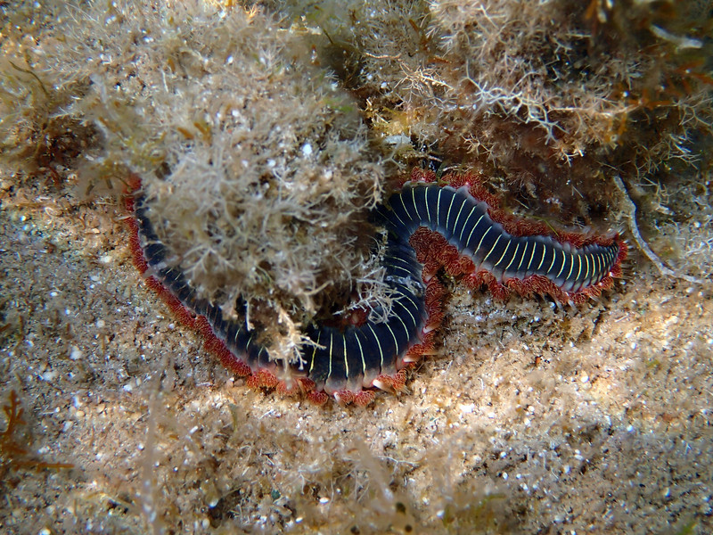 Hermodice carunculata, bearded fireworm, south of Memi beach, Messinia, Peloponnese, Greece<br /> in about 30 cm water depth<br /> <br /> Olympus TG-1