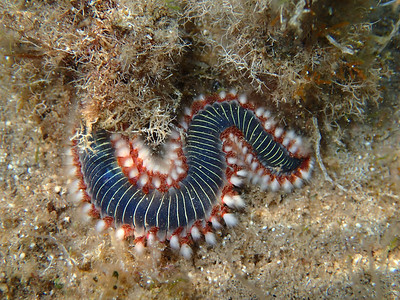 """""""Worms"""", Annelida etc"""