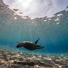Green Sea Turtle ,Honu