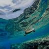 Reef Honu