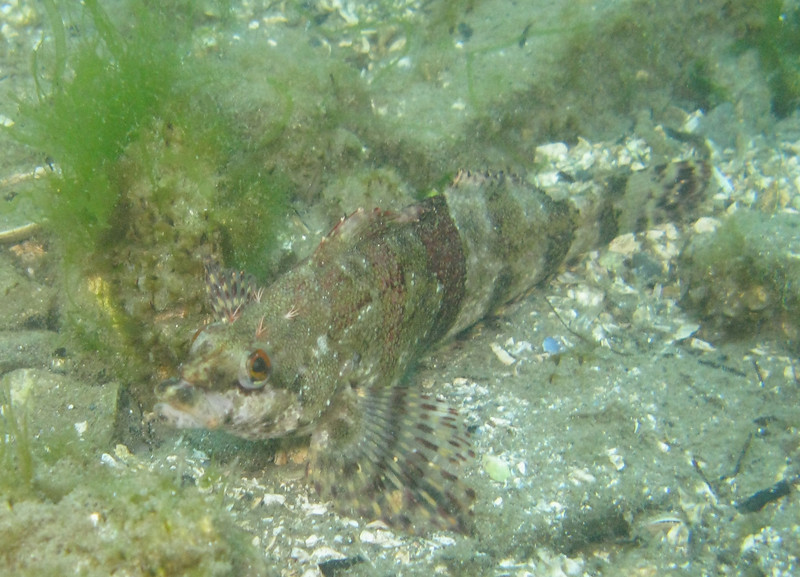 Painted greenling.  Note the 4 cirri clumps on his head.