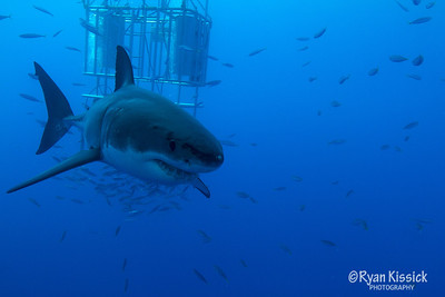 Great White Shark swimming towards the camera for a closer look