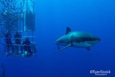 Divers admiring a large Great White Shark
