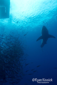 Great White Shark cruising near the surface