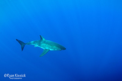 Great White Shark in the blue