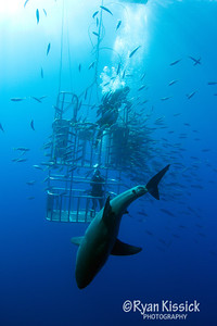 Great White Shark passing in front of a submersible cage