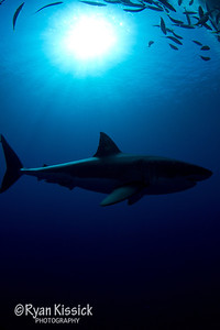 Great White silhouette with sunburst at the top of the frame