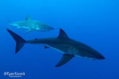 Another pair of Great Whites cruising side by side