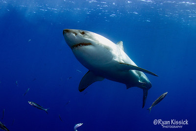 Great White Shark near the surface