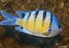 Sargent Fish