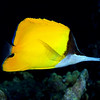 LongNoseButterflyFish_FiveGraves_Maui_2009