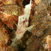 LeafScorpionFish2_FiveGraves_Maui_2009