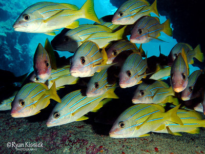 School of snappers in Kona