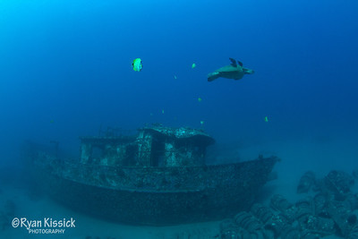 Green Sea Turtle swimming over wreck in Maui
