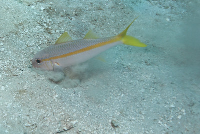 Goatfish searching for food.