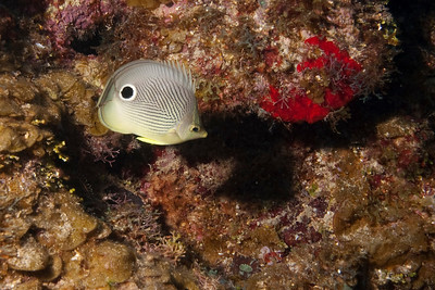 "The butterfly fish has a second pair of ""eyes"" for confusing its predators. As the fake eye is bigger and more obvious a predator might thing that the fish would swim in the opposite direction if faced with danger."