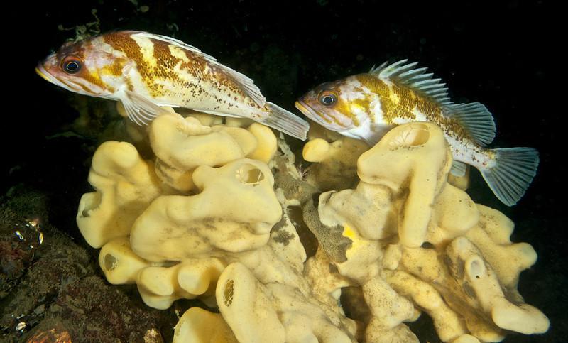 Copper Rockfish on a Cloud Sponge