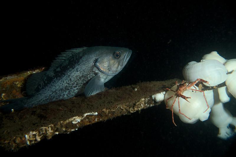 Black Rockfish, Kelp Crab
