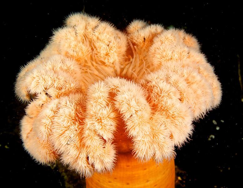 Giant Plumrose Anenome