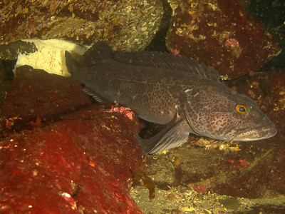 Ling cod protecting the egg mass.