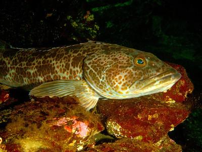 Female Ling Cod