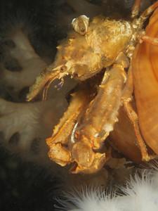 Kelp Crab