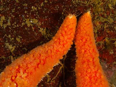 Starfish Tango