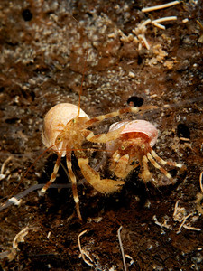 Greenmark Hermit Crabs