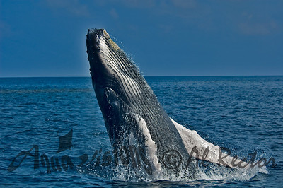 Surface shotHumpback Whale. Silver Banks, DR 2012