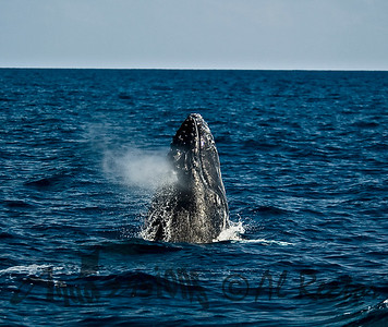 Breaching Humpback Whale 4, Whale Breath 1