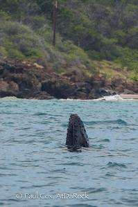 Humpback calf spy-hop