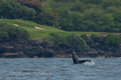 Kohola, Humpback Whale