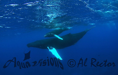 Humpback Whales from Dominican Republic 2010 and 2011