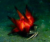 Crab carrying fire urchin on its back. U/W version of Bekins?