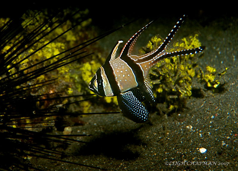 Baangaii Cardinalfish. Native to Bangaii Island and Lembeh Straits.