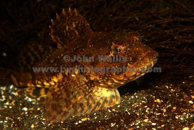 Scorpion fishRN
