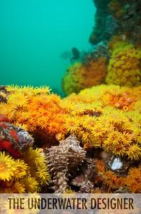 Tubastrea soft coral on oil rig, Louisiana
