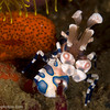 CA145881HarlequinShrimp copy