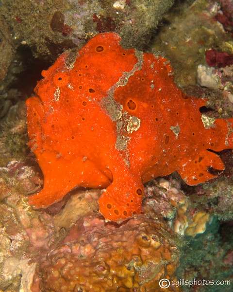CA125249frogfish copy