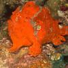 CA125249frogfish copy