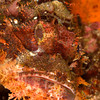 CA151486_edited-2Scorpionfish