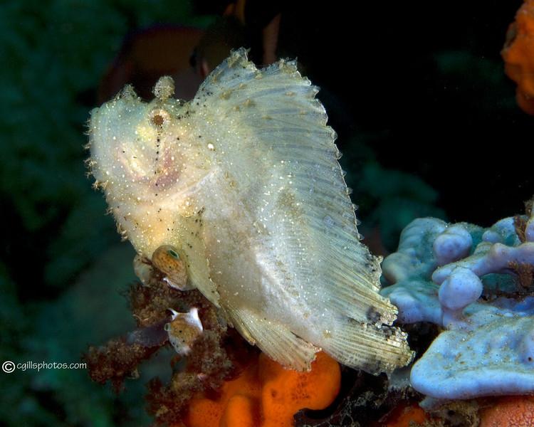 CA135585LeafScorpionFish copy
