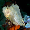 CA135585LeafScorpionFish copy